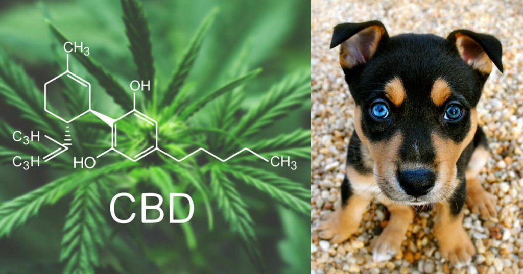 Dogs and CBD- What is so great about it?: Vol. 1 8